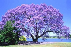 an incredible purple jacaranda tree in full bloom.  Purple trees --- so beautiful!