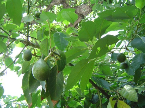 Beautiful fresh avocados ... What does this incredible tree have to do with Dissociative Identity Disorder (DID/MPD) ?