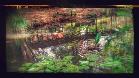 Baby Ducks on Lilypond