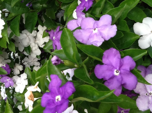Yesterday, Today, Tomorrow . Does this beautiful fragrant flowering plant have Dissociative Identity Disorder?