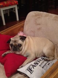 Emma the pug