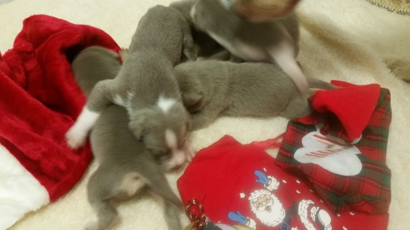 At two weeks old, little silver kelpies look like little silver bells.