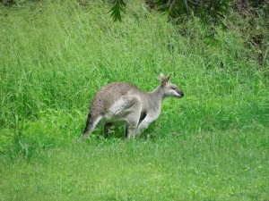 A kangaroo in the wild....